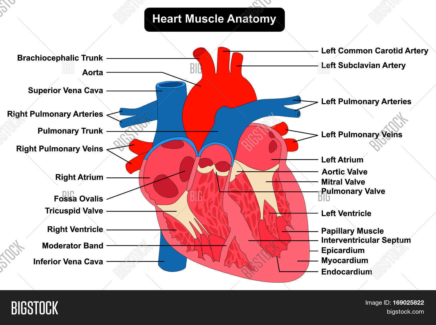 Human Heart Muscle Image Amp Photo Free Trial
