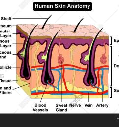 human skin anatomy cross section diagram anatomical figure with all layers epidermis dermis subcutaneous tissue hair [ 1500 x 1126 Pixel ]