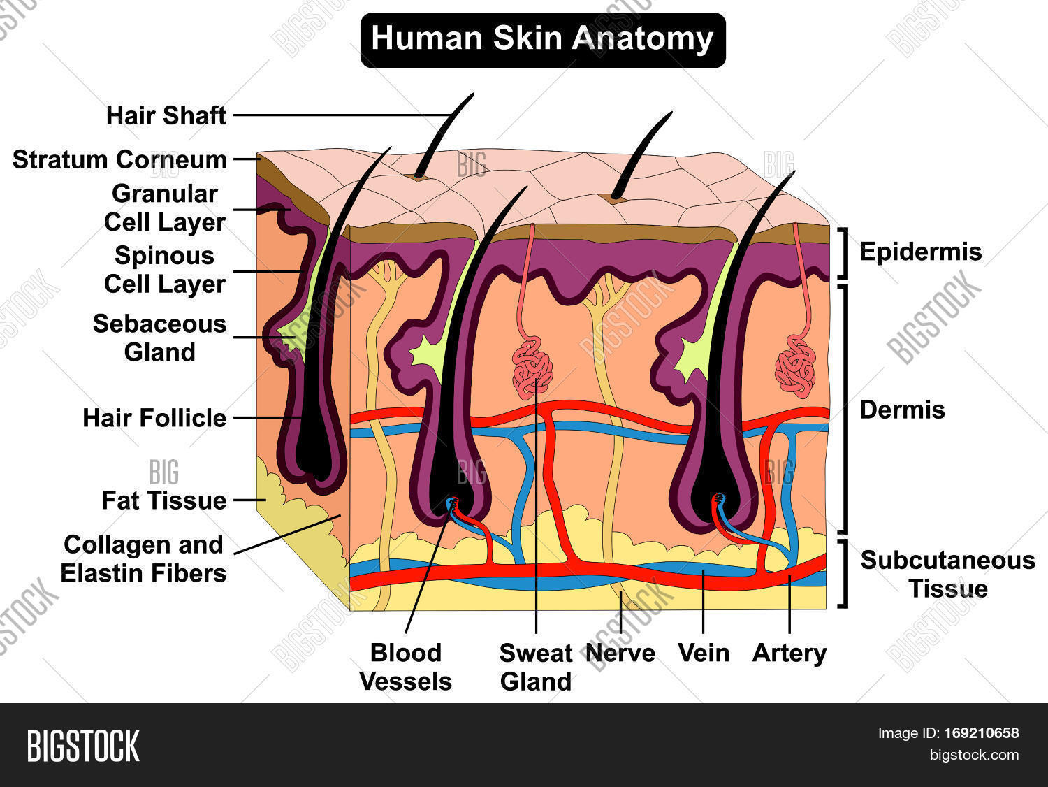 hight resolution of human skin anatomy cross section diagram anatomical figure with all layers epidermis dermis subcutaneous tissue hair
