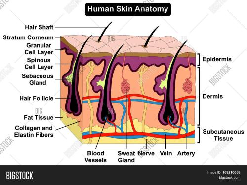 small resolution of human skin anatomy cross section diagram anatomical figure with all layers epidermis dermis subcutaneous tissue hair