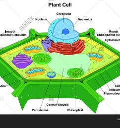 plant cell anatomy diagram structure with all part nucleus smooth rough endoplasmic reticulum cytoplasm golgi apparatus [ 1500 x 1126 Pixel ]