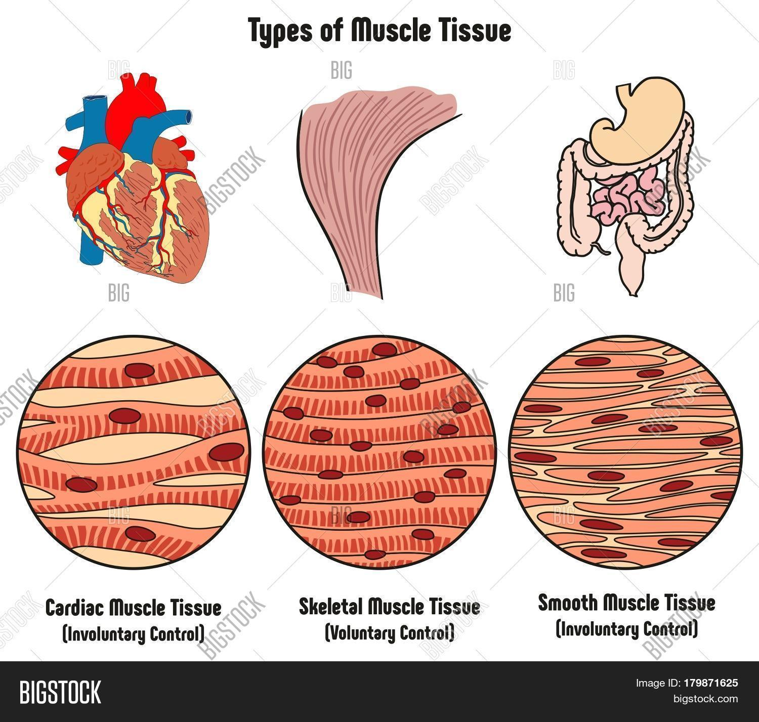Types Muscle Tissue Image Amp Photo Free Trial