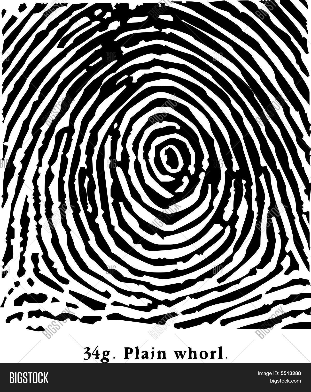Fingerprint Plain Whorl Vector Amp Photo