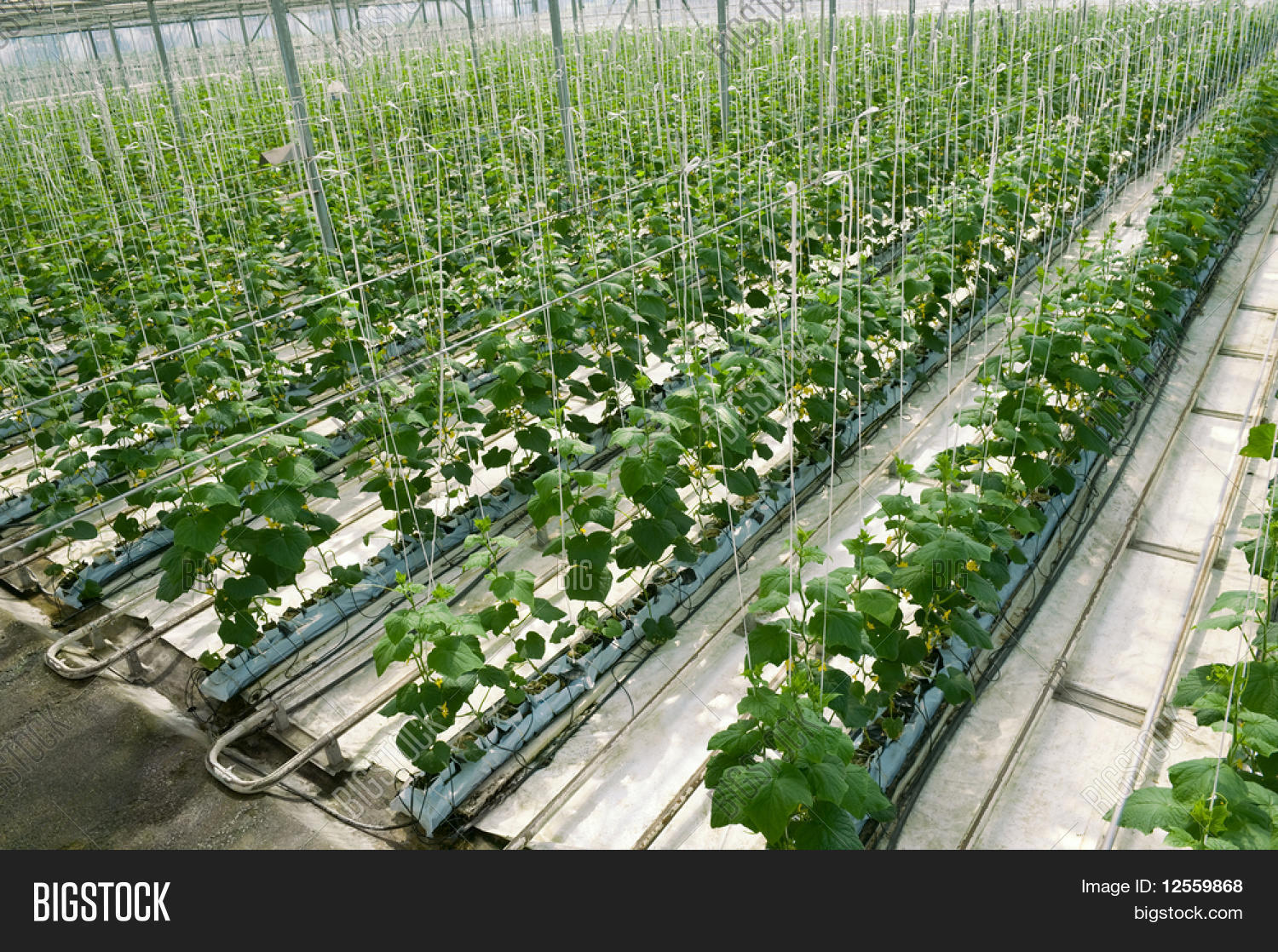 Hydroponic cultivation of cucumbers in greenhouse Stock Photo & Stock Images | Bigstock