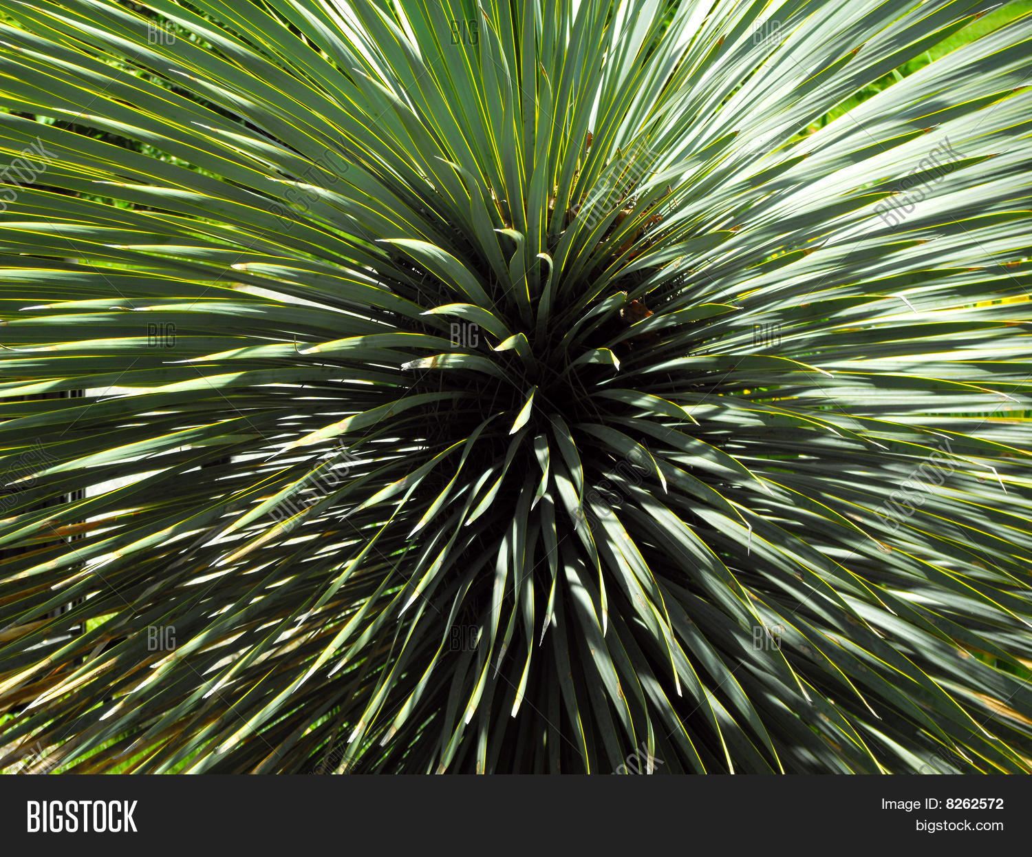 Spiky green yucca plant Stock Photo & Stock Images | Bigstock