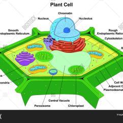 Endoplasmic Reticulum Animal Cell Diagram 2002 Ford F350 Wiring Plant Anatomy Image And Photo Bigstock