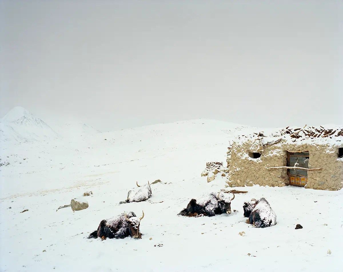 The winter is incredibly harsh in the Wakhan Corridor. These yaks stayed did not move over the course of the night to preserve heat and energy.