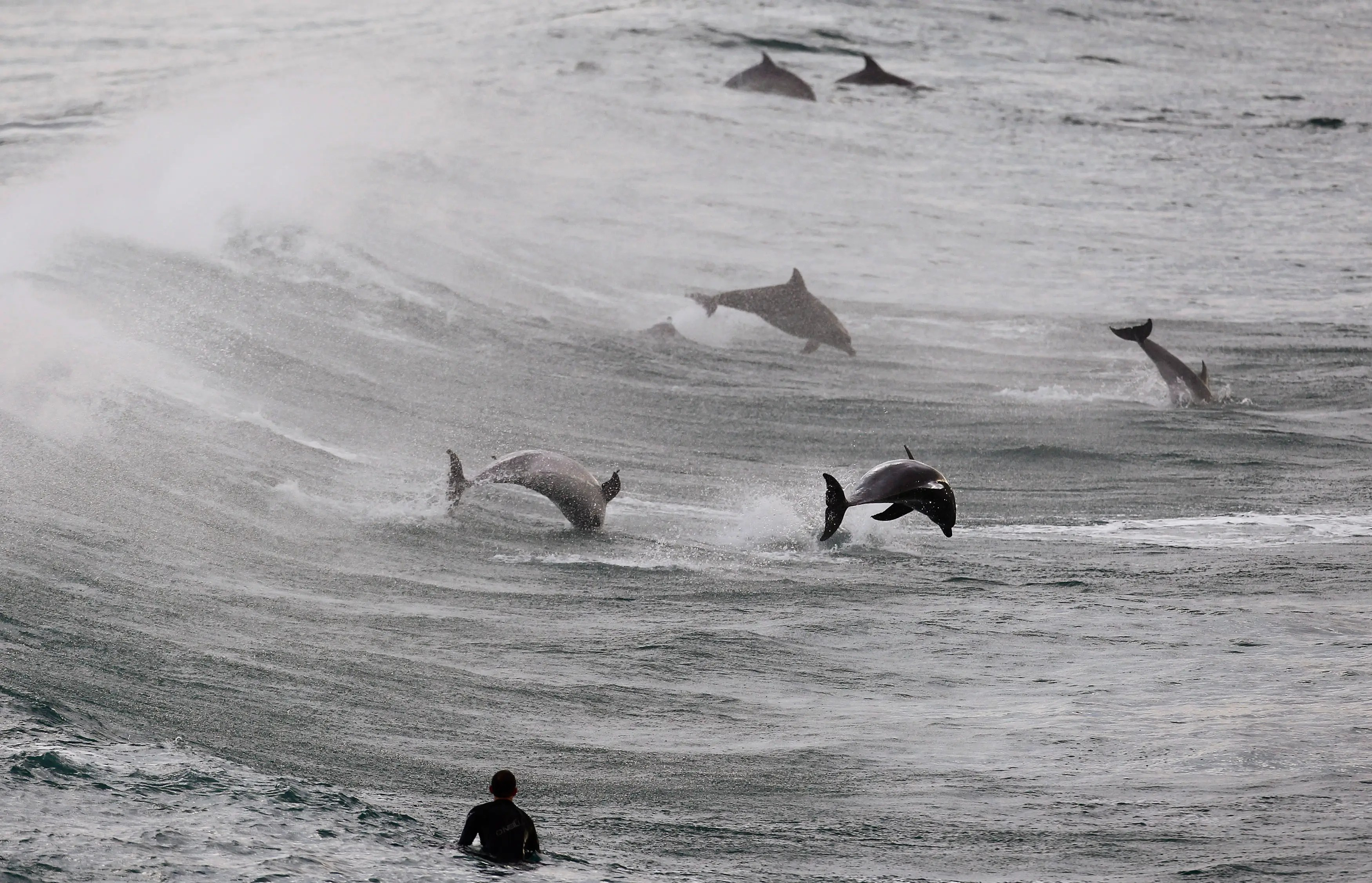 A surfer watches a group of dolphins leap in the waters of Bondi Beach in Sydney.