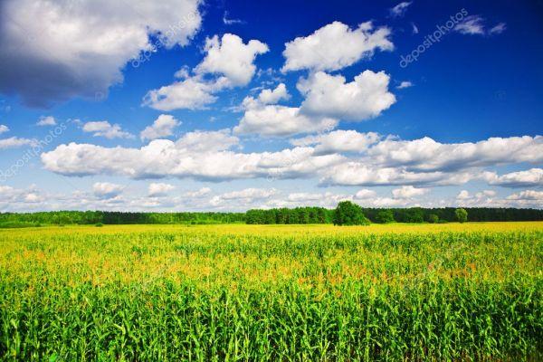 landscape - corn field stock