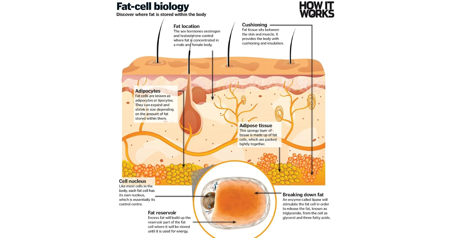 discover reports that the real problem with fat is that the cells store  high amounts of energy and are used up slowly  that is fine if a person is  routinely