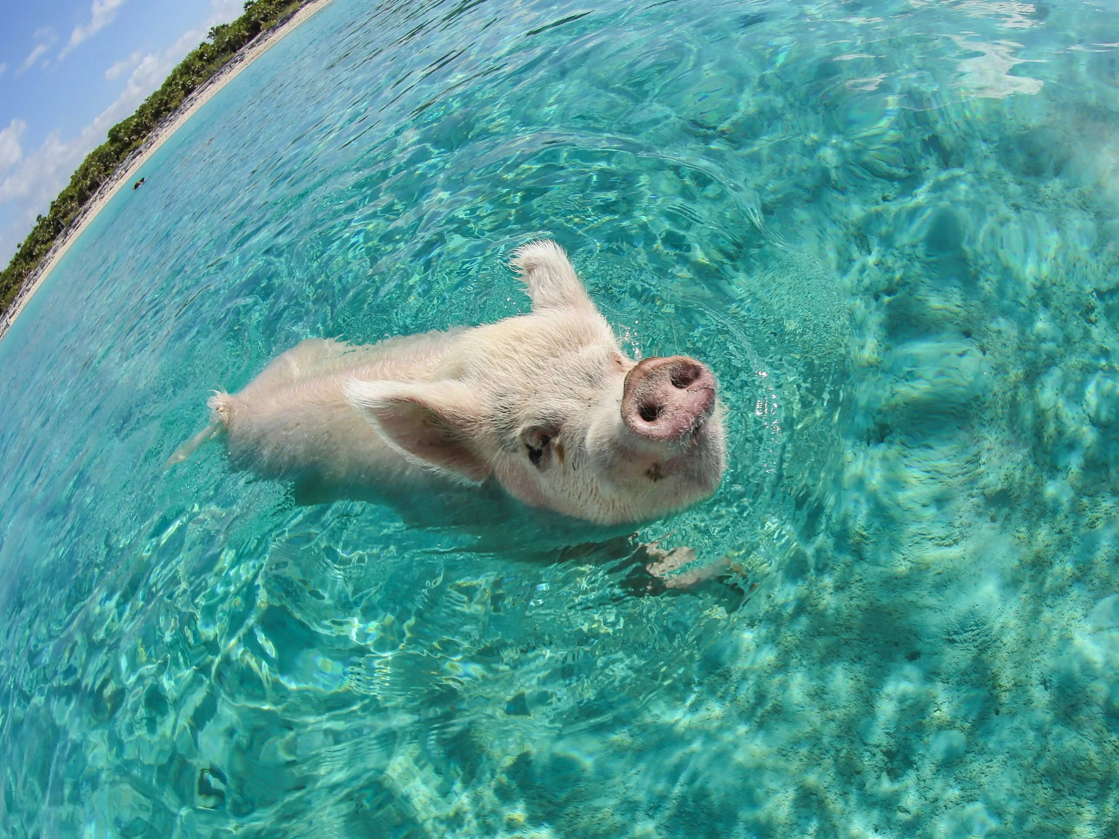 Big Major Cay's pigs swimming in the clear, turquoise waters of the Bahamas.
