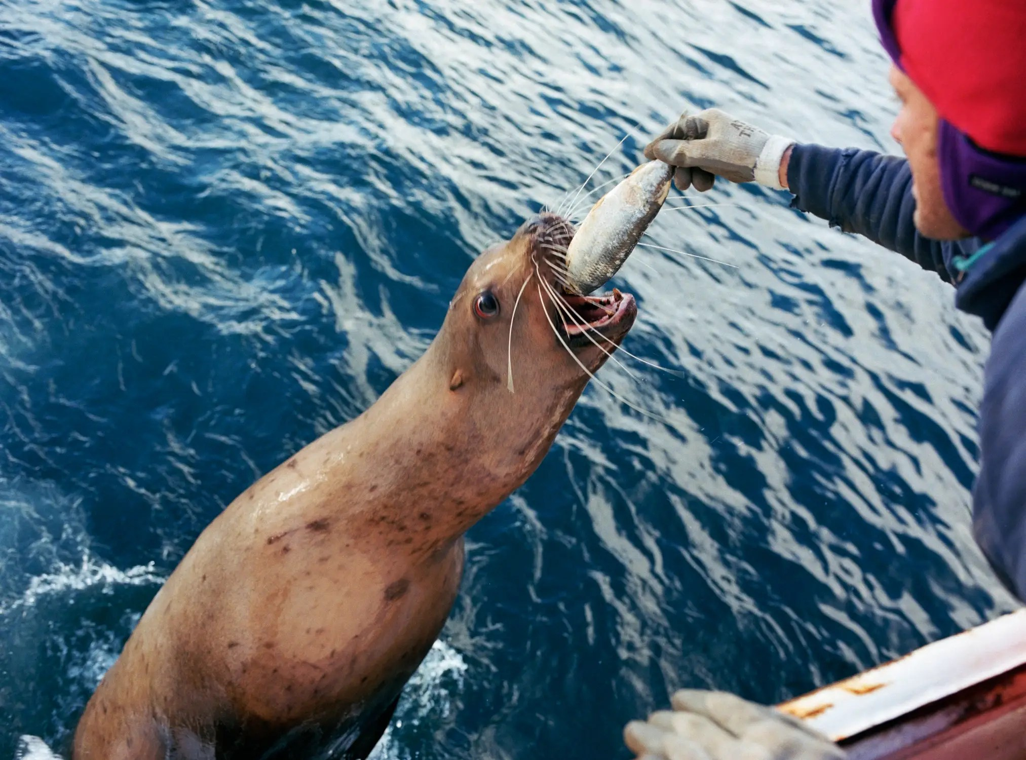 Before heading up to Alaska, the ship loads up with 3 months worth of food. Even so, it's hardly necessary. The ship's cook is constantly steaming fresh crab legs and seafood caught during the day. The hard labor of fishing requires a diet heavy in fat, protein, and omega-3s. Here, a sea lion gets a bite of the grub.