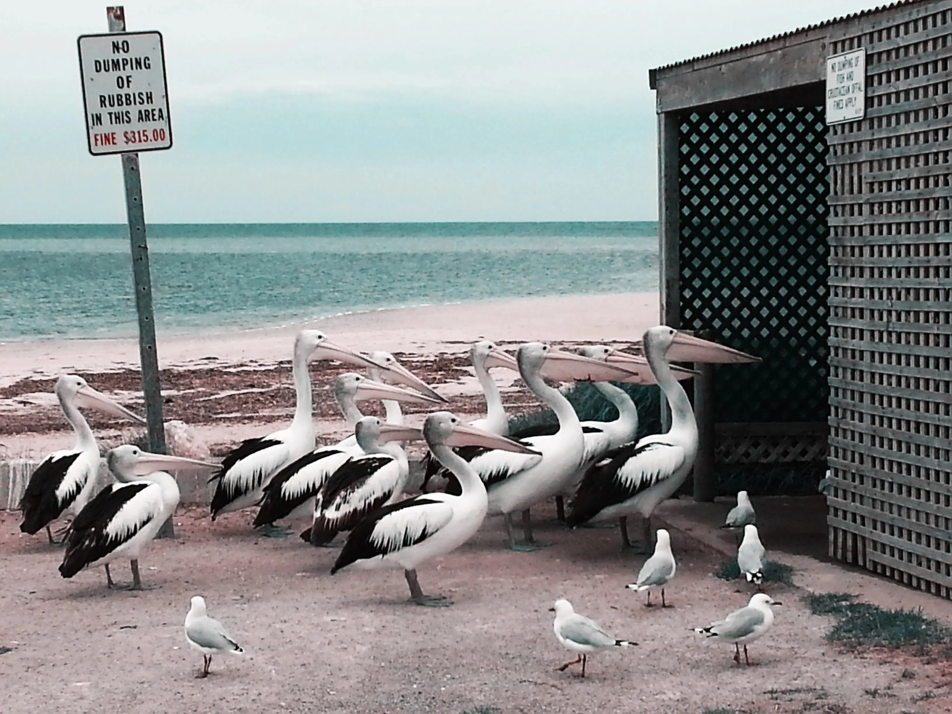 These pelicans live at Port Vincent in South Australia. They have become accustomed to waiting for fish offal for food.