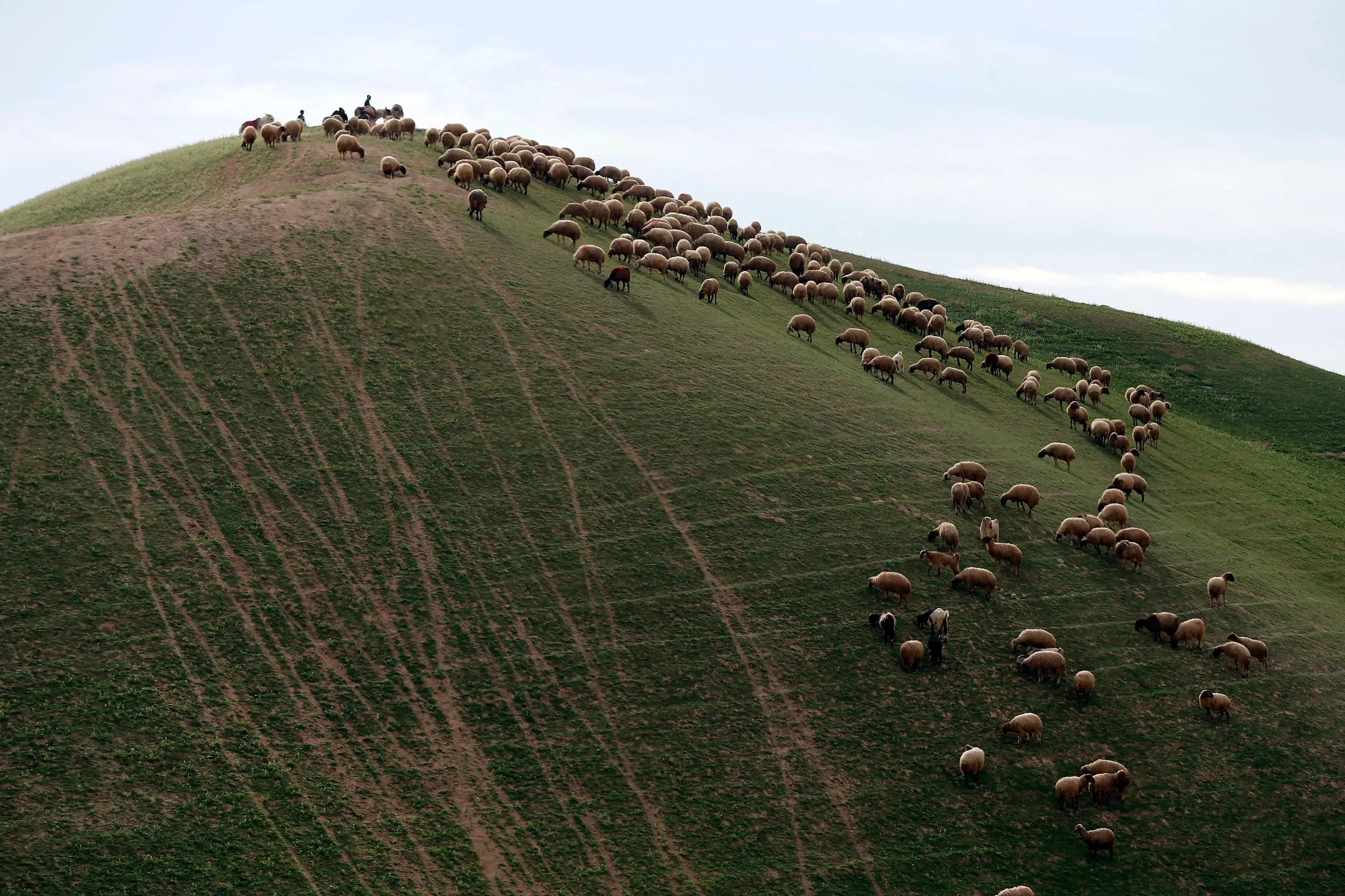 Palestinians herd sheep in Israeli's Judean desert.