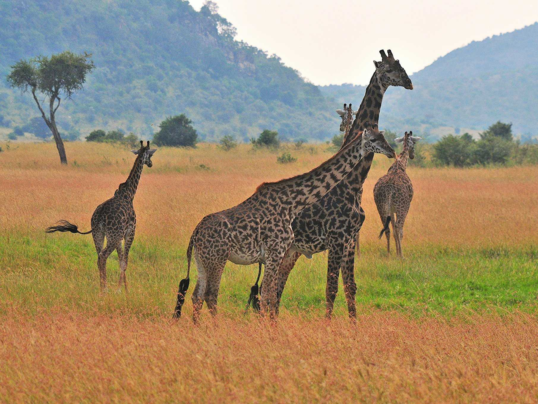Observe wild animals in their natural habitat on a safari in Kenya.