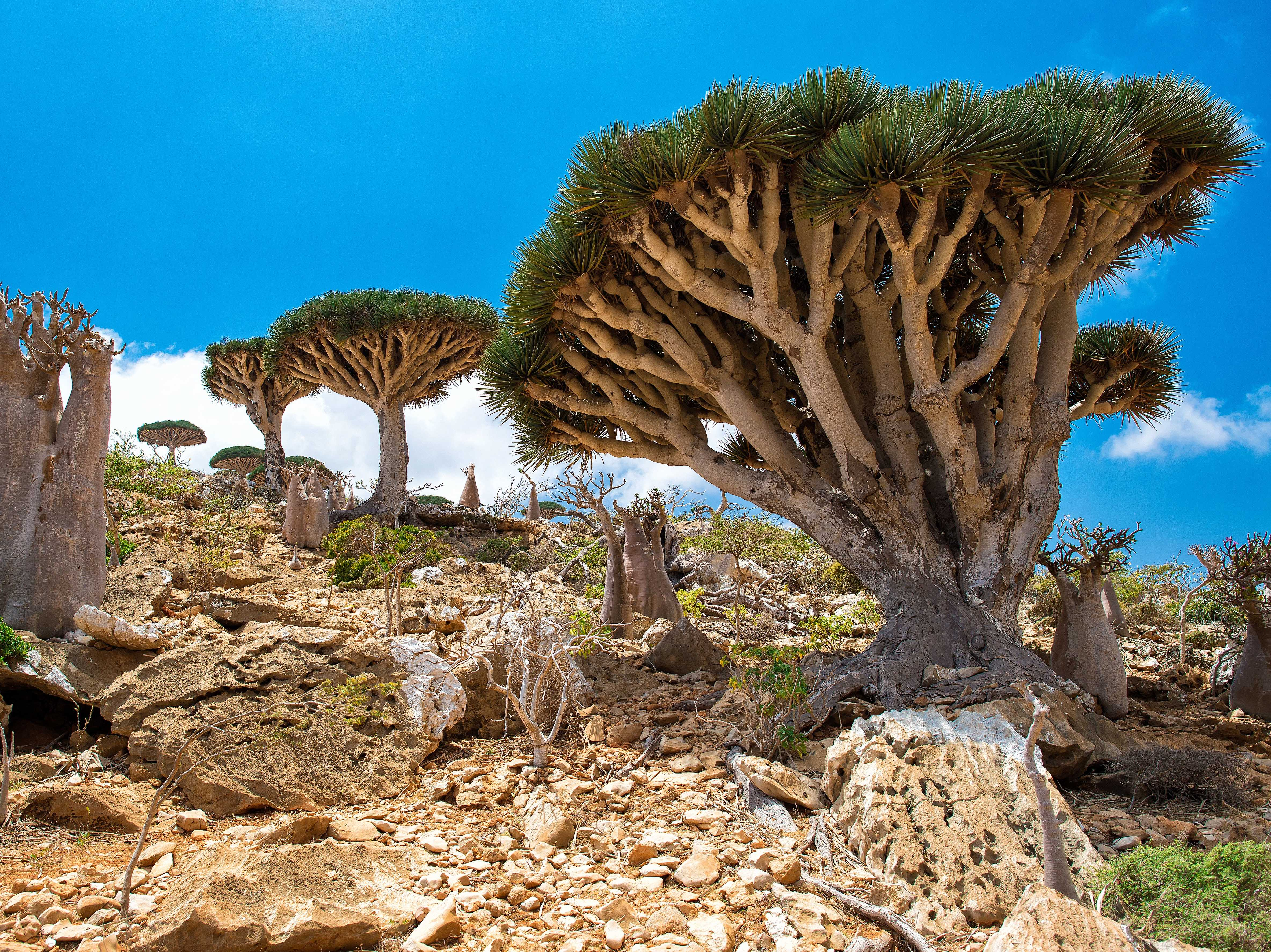 Located in the Indian Ocean near the Gulf of Aden, the Socotra Archipelago is known for its extremely unique wildlife: 37% of its plant species, 90% of its reptile species, and 95% of its land-snail species are nonexistent anywhere else in the world, according to UNESCO. It's also home to one of the most unique trees in the world, the dragon's blood tree that gets its name from its red sap.