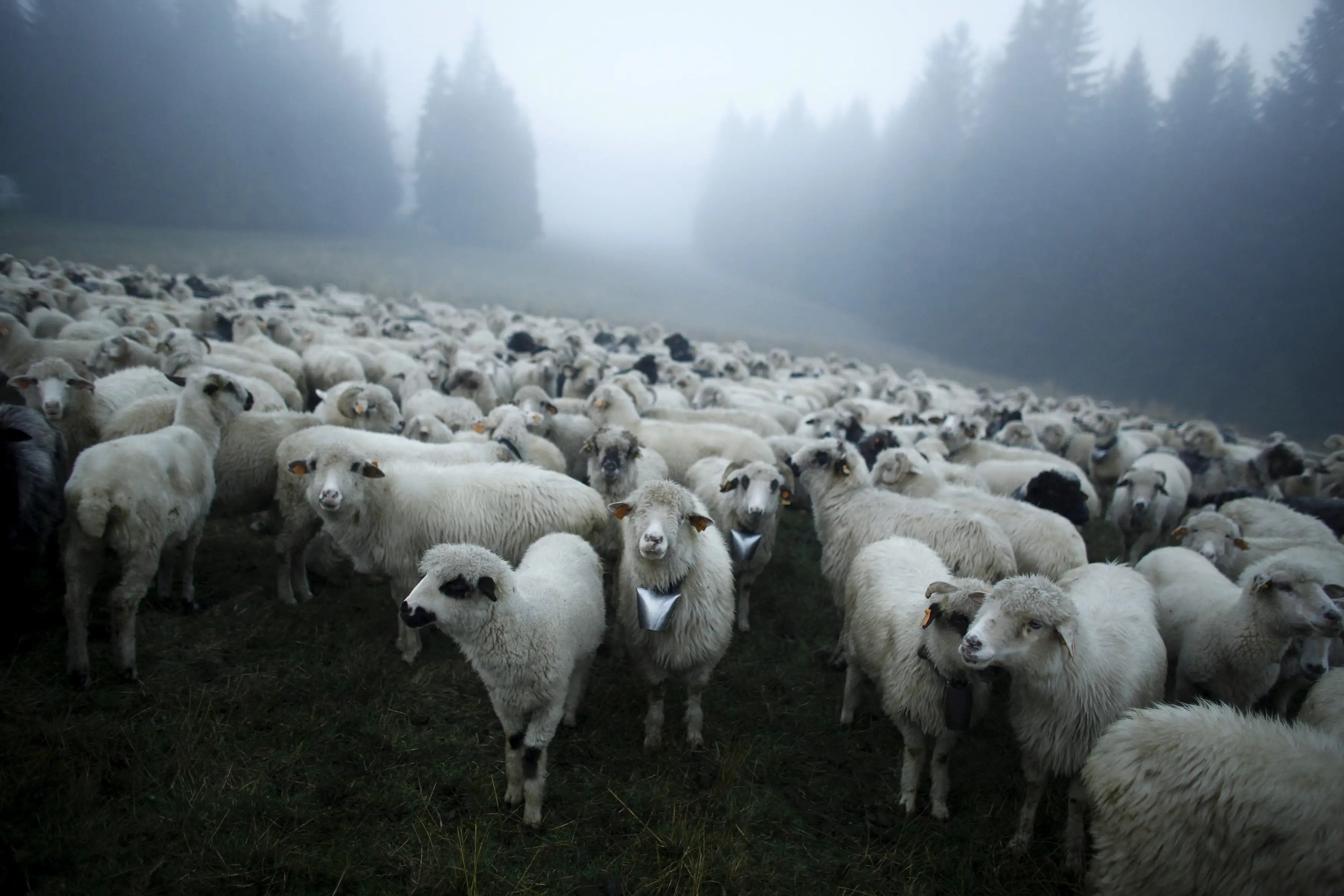 sheep fog morning poland