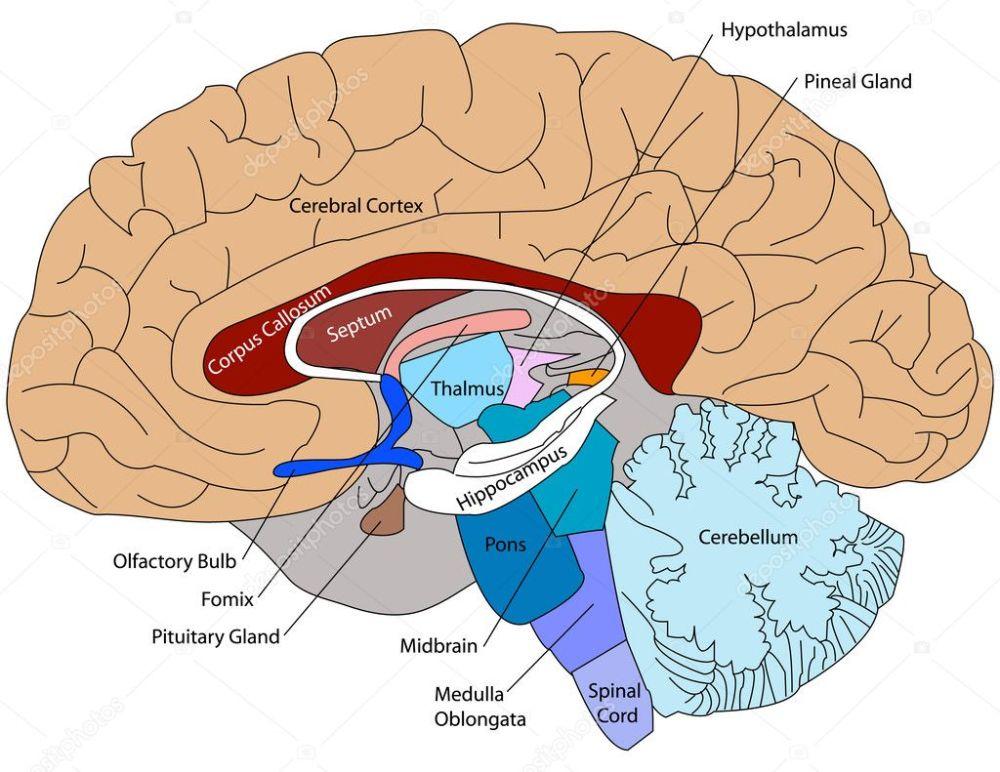 medium resolution of generalized plant cell unlabeled 3d diagram of the brain easy brain diagram brain wiring diagram diagram