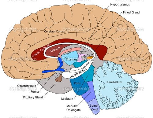 small resolution of generalized plant cell unlabeled 3d diagram of the brain easy brain diagram brain wiring diagram diagram
