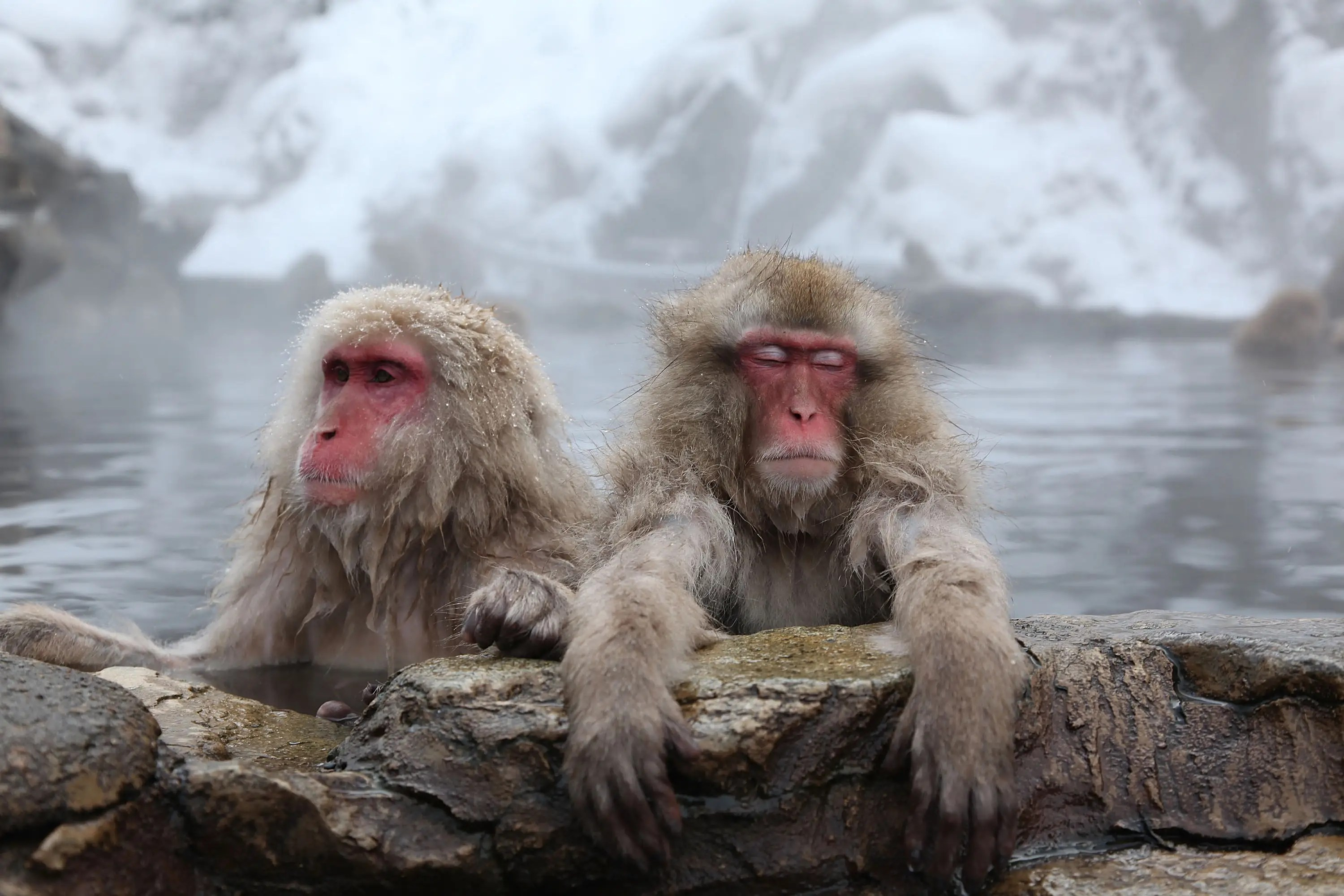 Japanese macaque snow monkey
