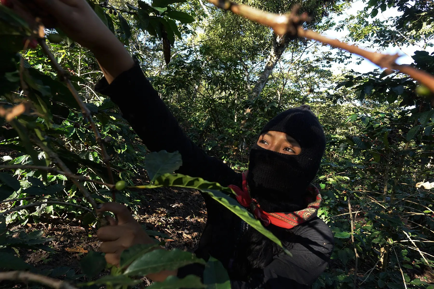 The coffee bean is another important crop that is traded through these Zapatista-run cooperatives, which make around 130 tons of coffee a year.