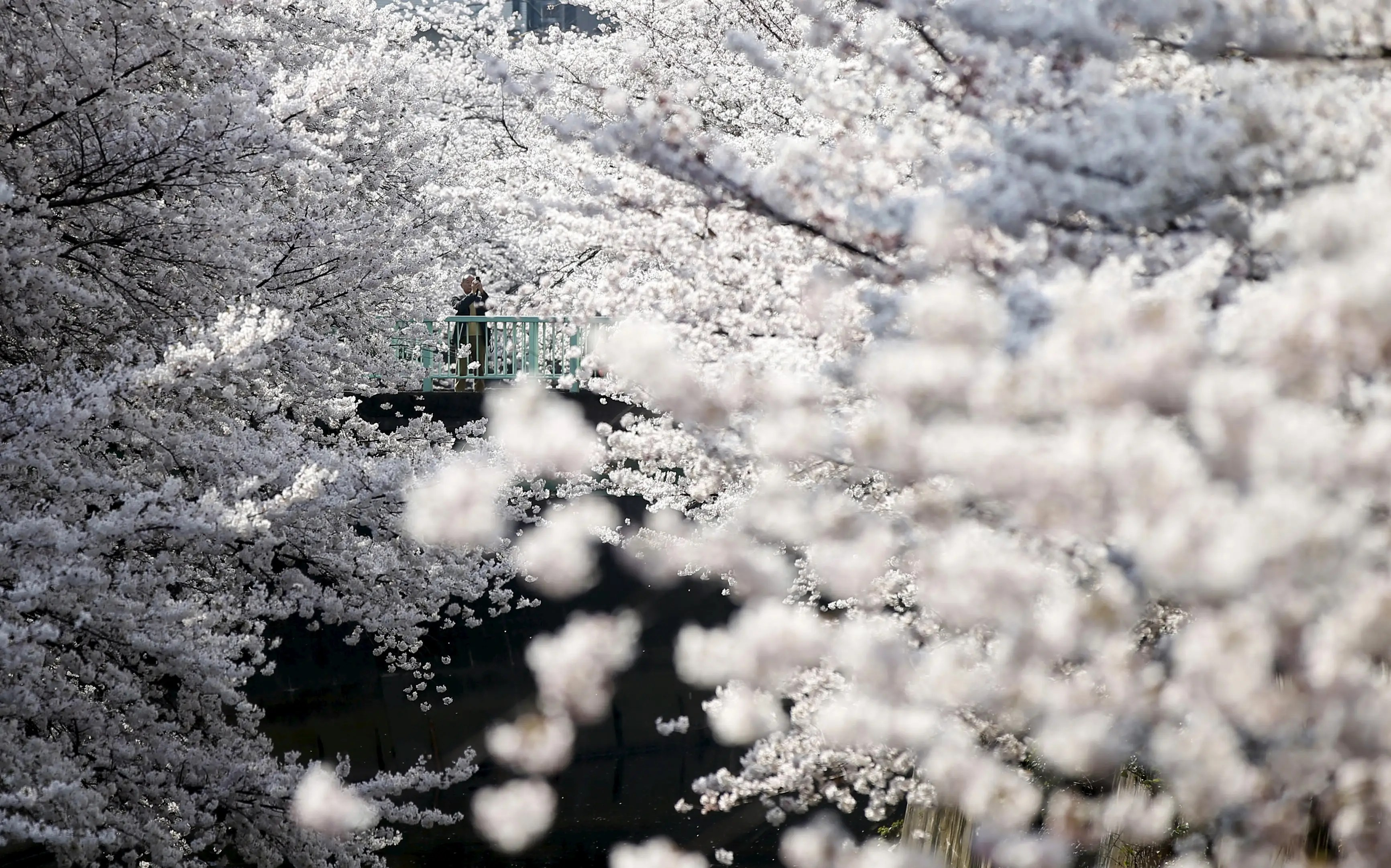 Cherry blossoms are seen in full bloom in Tokyo.