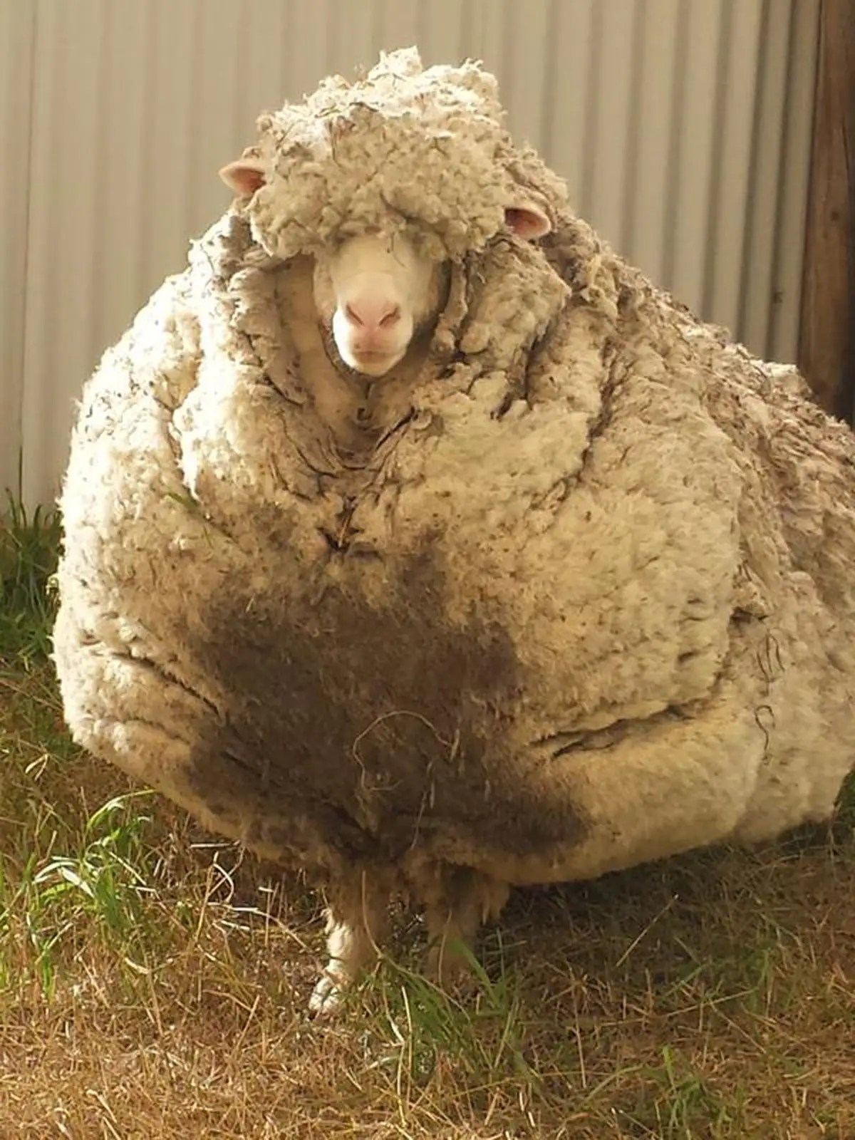 Why sheep cant stop growing their fur  Business Insider