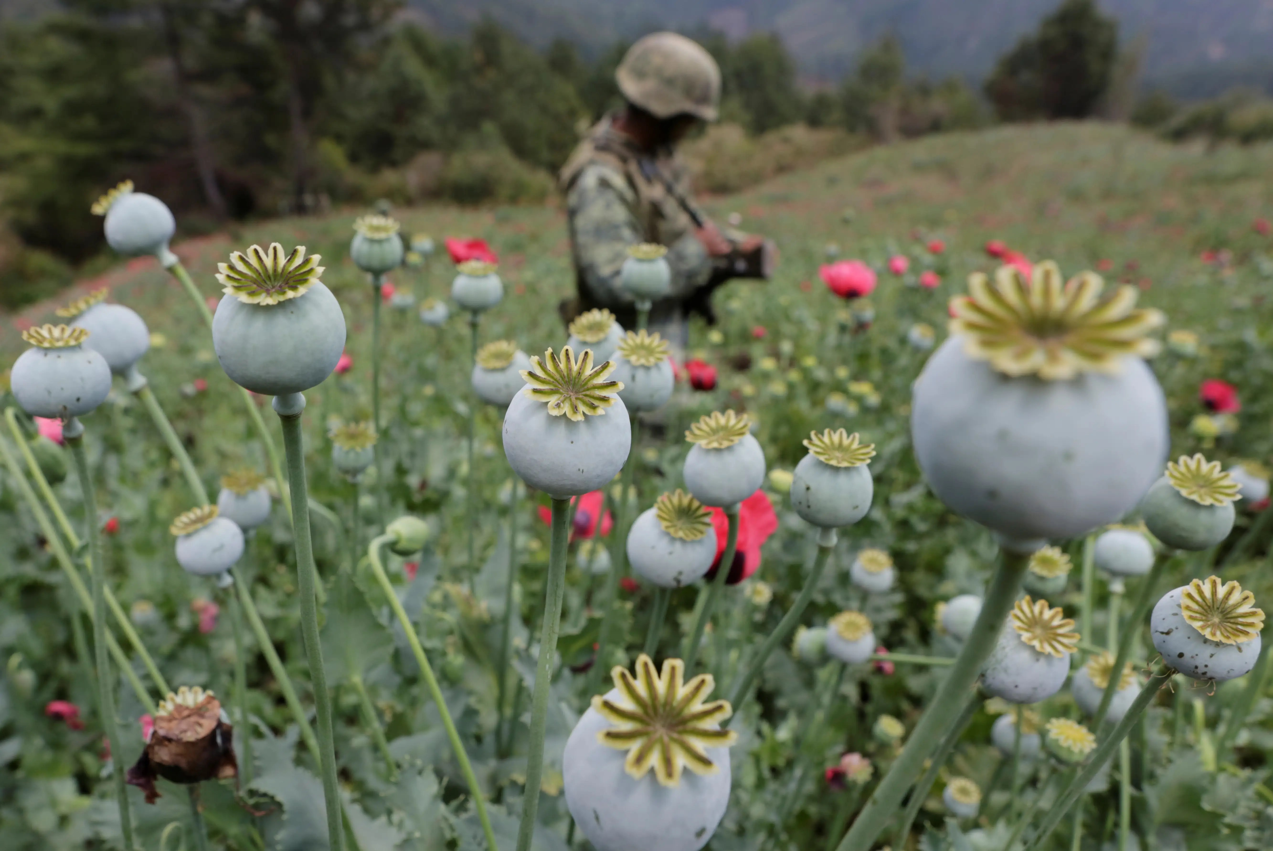 Mexico opium poppy plant eradication soldier
