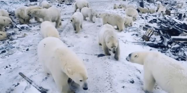 polar bears Novaya Zemlya, Russia.