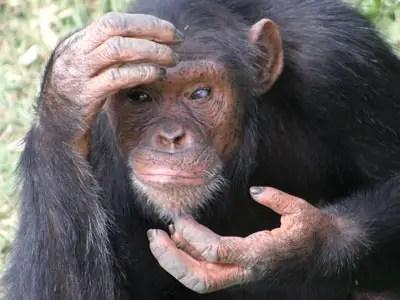 Ο άνθρωπος δεν εξελίχθηκε από τους χιμπατζήδες