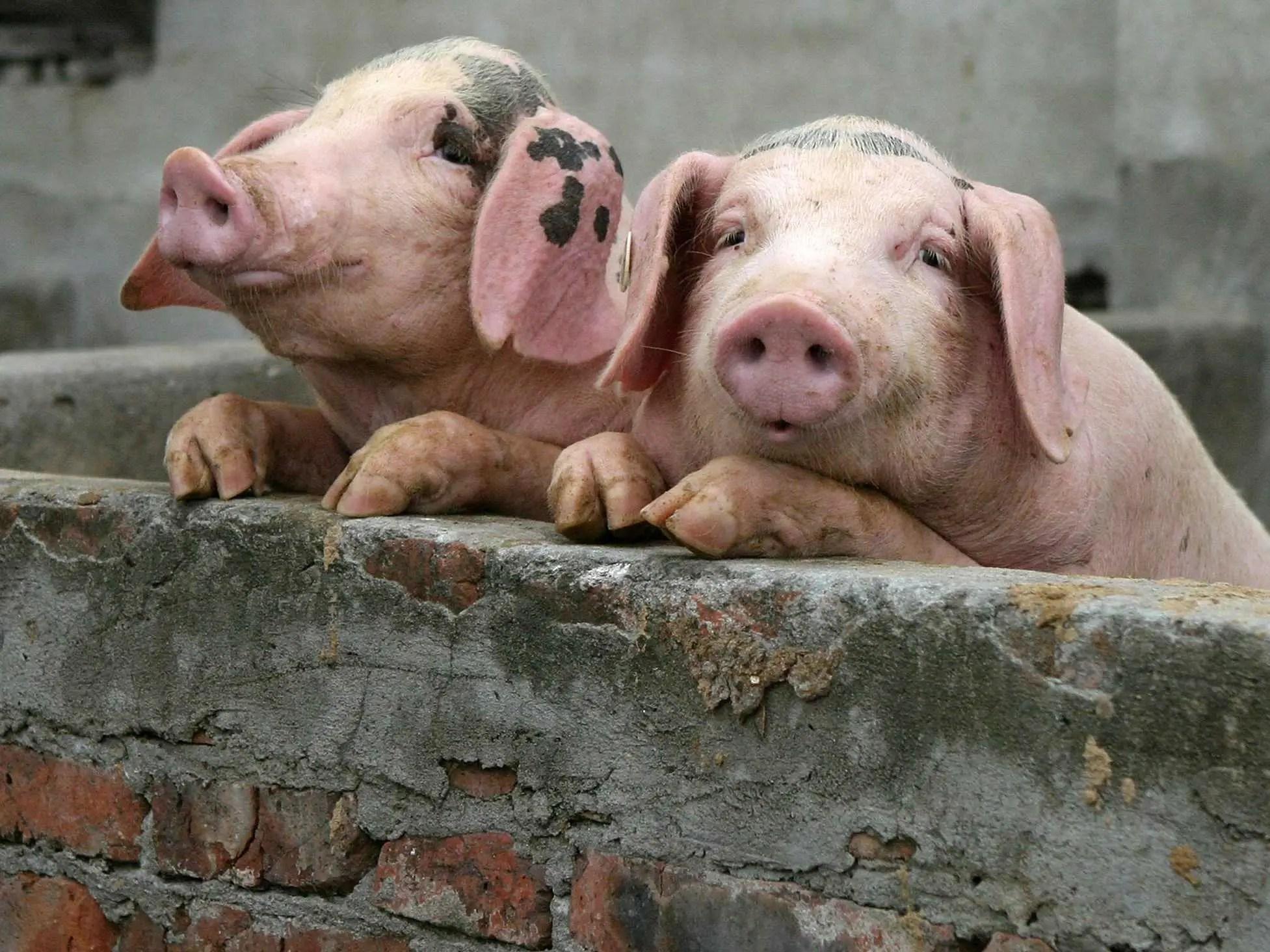 china pig pen shanghai