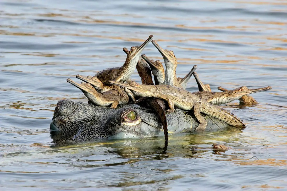 """Mother's Little Headful"" — Udayan Rao Pawar, 14, from India photographed a female gharial crocodile in the Chambal River while balancing several hatchlings on her head."