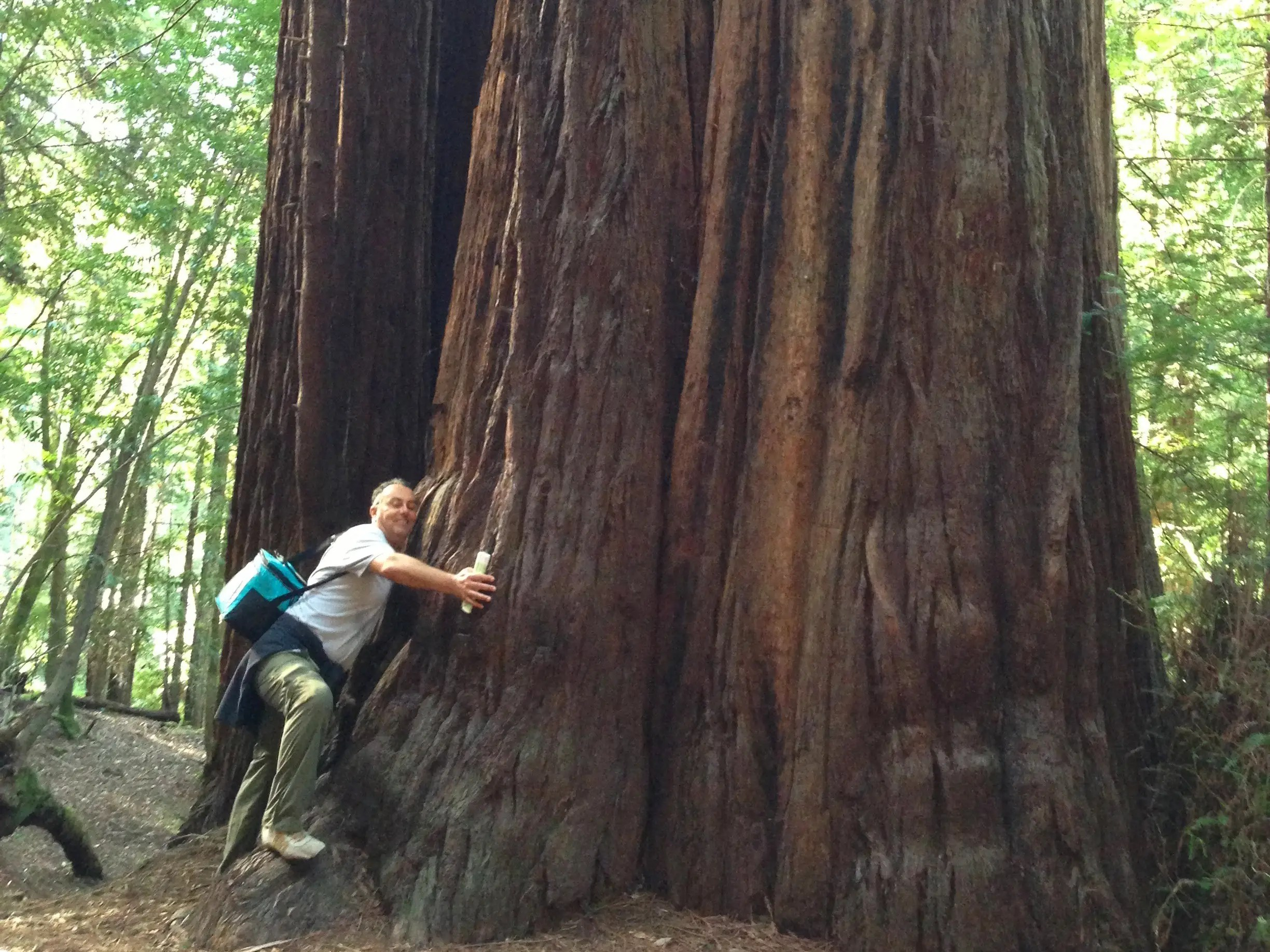 Attempt to hug a giant Redwood tree in Northern California.