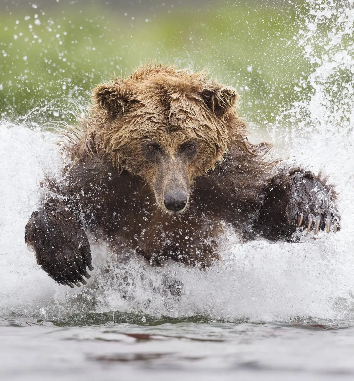 """Tin Man Lee won the Smithsonian's """"Nature's Best Photography"""" competition with this shot from Alaska's Katmai National Park of a Grizzly Bear pouncing through icy waters."""