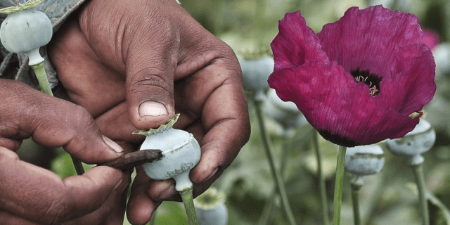 A man lances a poppy bulb to extract the sap, which will be used to make opium, at a field in the municipality of Heliodoro Castillo, in the mountain region of the state of Guerrero January 3, 2015. REUTERS/Claudio Vargas/File Photo