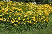 Yellow Daylillies in Backyard Flower Bed  Stock Photo ...