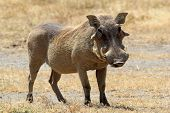 picture of wild hog  - A warthog  - JPG