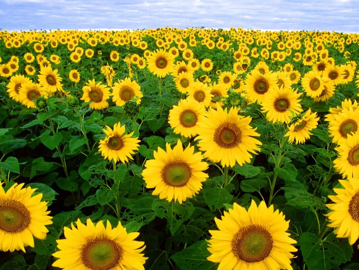 sunflowers flowers