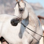 White Arabian Horse Stallion Portrait Stock Photo C Vikarus 7527083