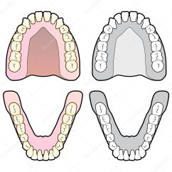 Diagram Of Teeth And Their Numbers Architecture Site Analysis Tooth Dental Chart  Stock Vector Gleighly 8373042