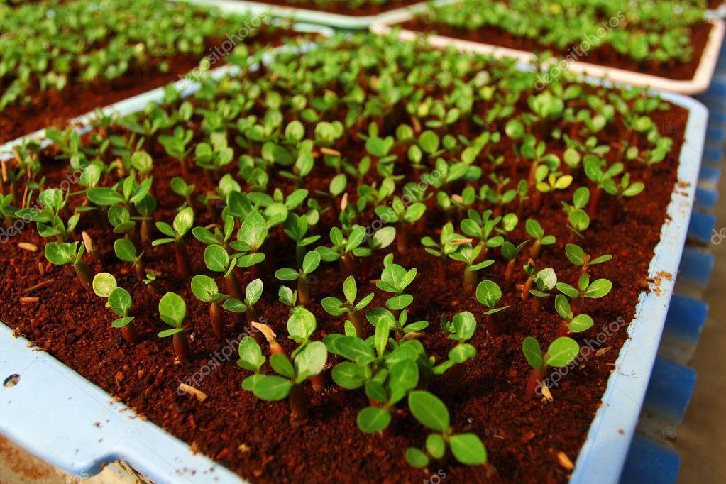 seedlings of the flowers