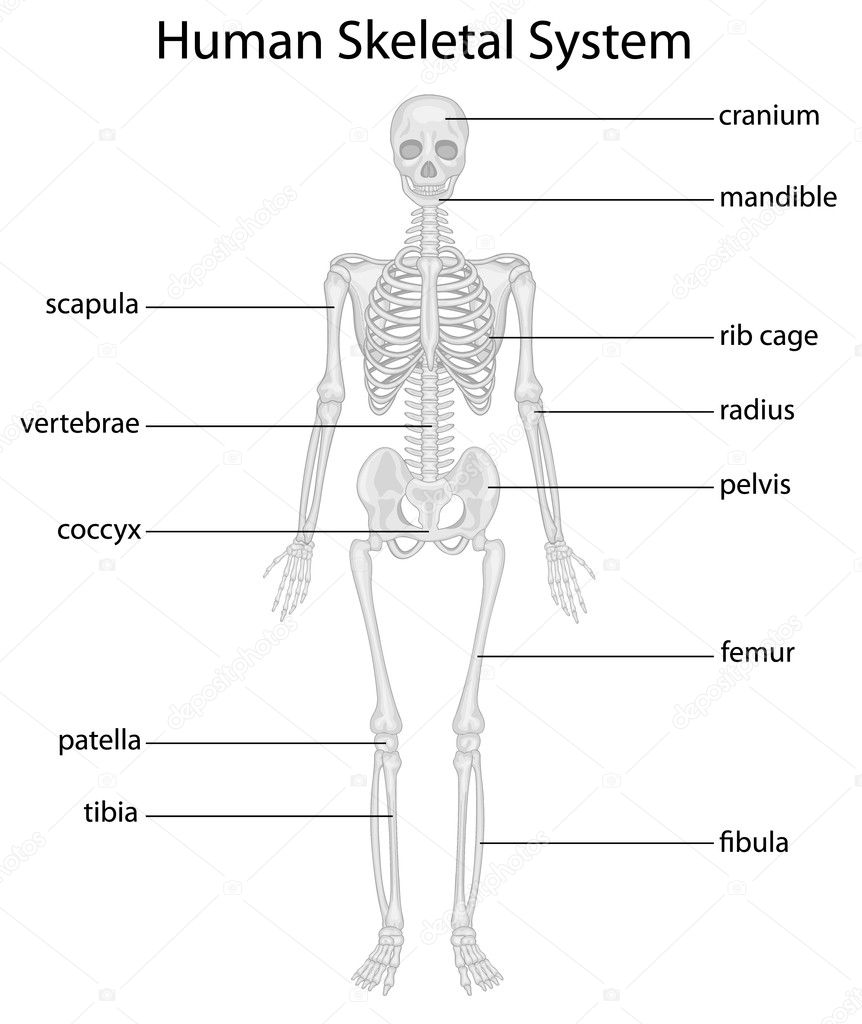 Skeletal system — Stock Vector © interactimages #10457046