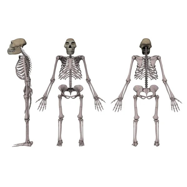 Australopithecus afarensis — Stock Photo © 3drenderings