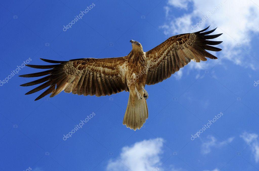 flying hawk bird of