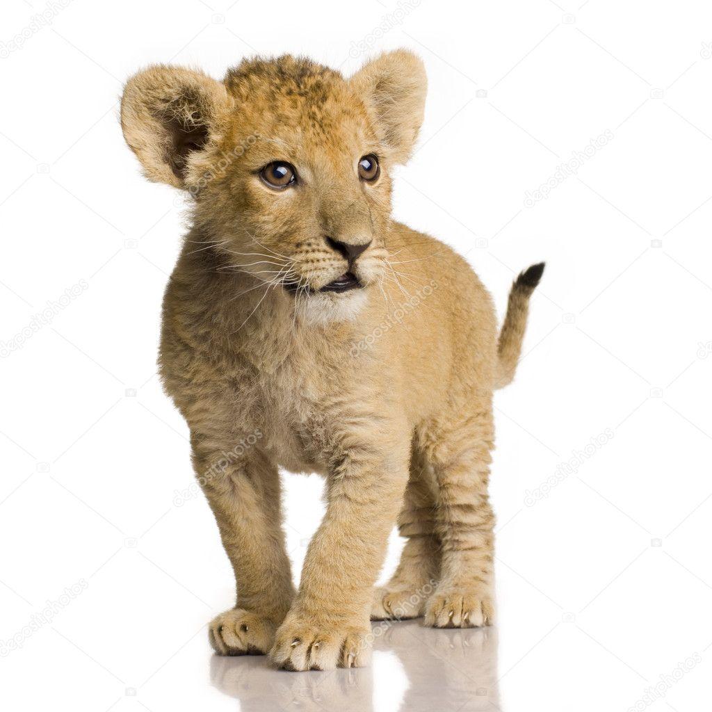 Lion Cub 3 Months