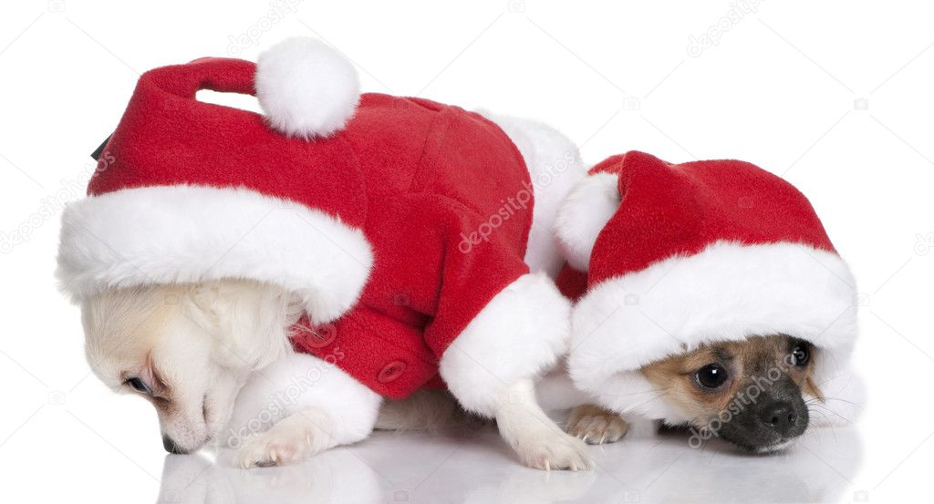Two Chihuahua Puppies In Santa Claus Suits 7 Months Old Sitting In Front Of White Background Stock Photo C Lifeonwhite 10886376