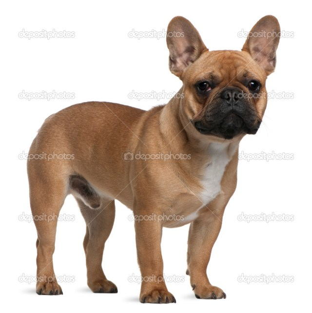 french bulldog puppy, 7 months old, standing in front of