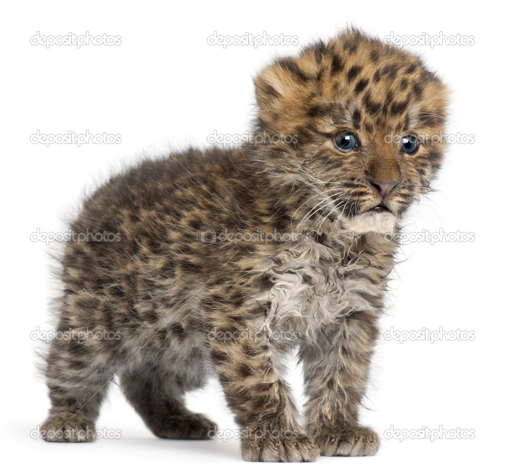 cucciolo di leopardo di Amur panthera pardus orientalis