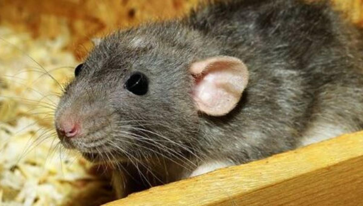 Hantavirus fear of human to human transmission by sneezing are ...
