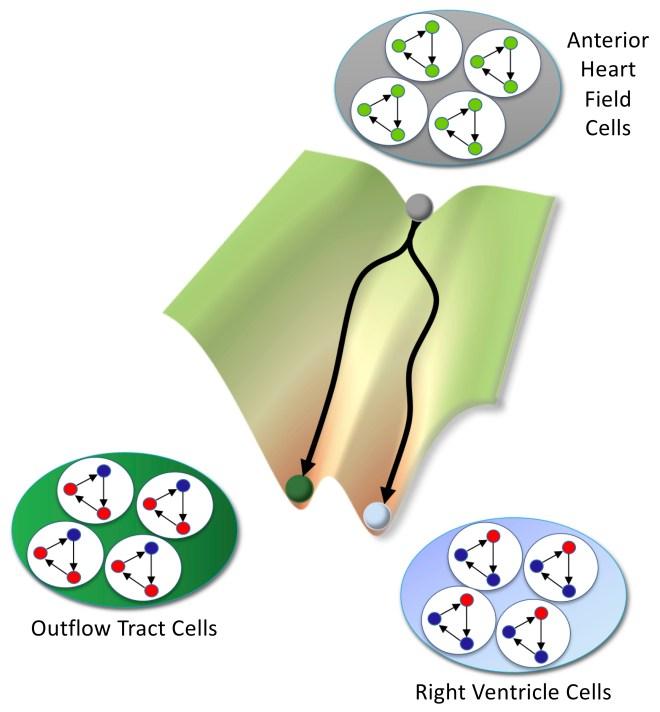 Proceso de especificación de las células y de las redes de genes regulatorios.